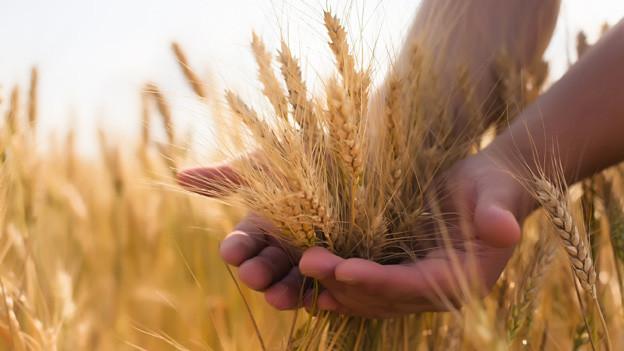 Eine Hand mit einem Büschel reifem Weizen.