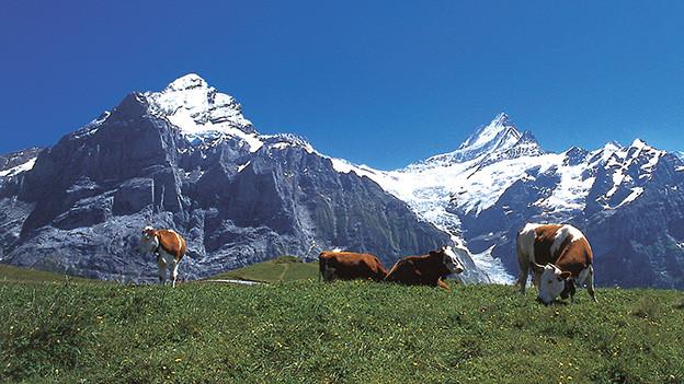 Weidende Kühe vor einem Alpen-Panorama.