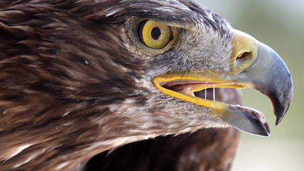 Grossaufnahme eines Adlerkopfes mit einem aufmerksamen Blick.
