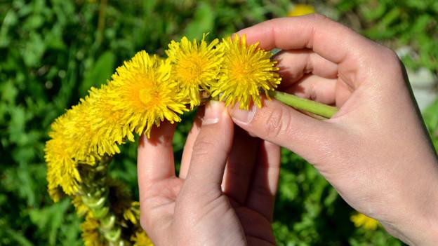 Hände, die aus gelben Löwenzahnblüten einen Kranz knüpfen.