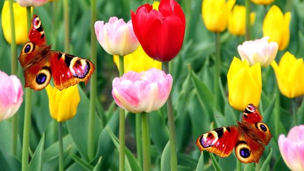 Eine Wiese voller Tulpen und Schmetterlinge.