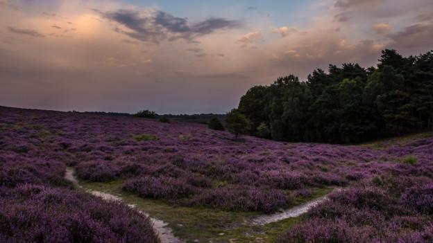 Die Lüneburger Heide in voller Pracht.