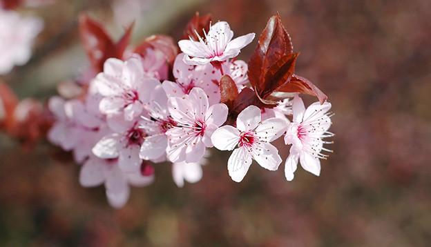 Ein Zweig mit vielen offenen Kirschblüten.
