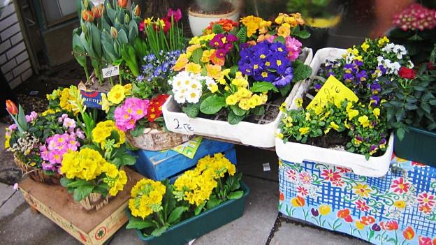 Primeln im Gartencenter bereit zum Kauf.