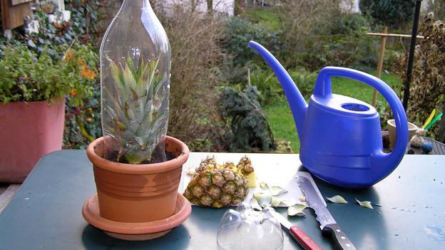 Auf einem Tisch steht ein Blumentopf mit einer Pet-Flasche, in der ein Ananas-Setzling steckt. Daneben liegen Rüstmesser neben einer blauen Spritzkanne.