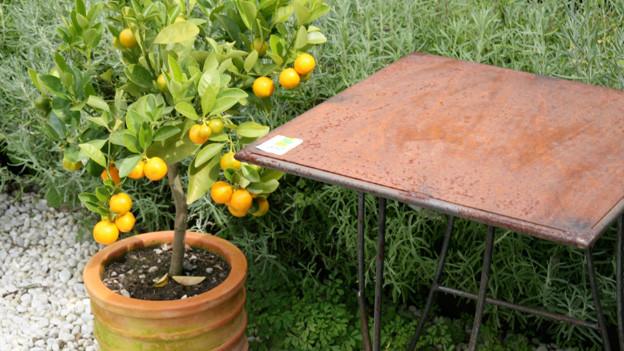Ein grosser Topf mit einem Zitronenbaum steht in einem Garten vor einem rostigen Gartentisch.