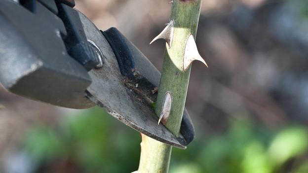 Grossaufnahme einer Gartenschere, die den Zweig eines Rosenstrauchs zwischen den Klingen hält.