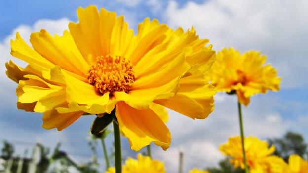 Zwei grosse gelbe Blüten unter blauem Himmel.