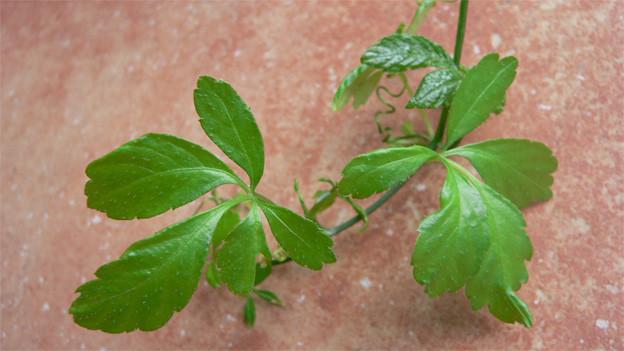 Zarte Blätter einer grünen Pflanze.