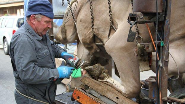 Eine Kuh hängt von weichen Gurten getragen in einem Gestell, so dass ihre Klauen gepflegt werden können.