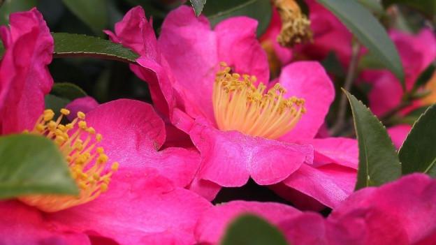 Blüten in prächtigem rot und pink.