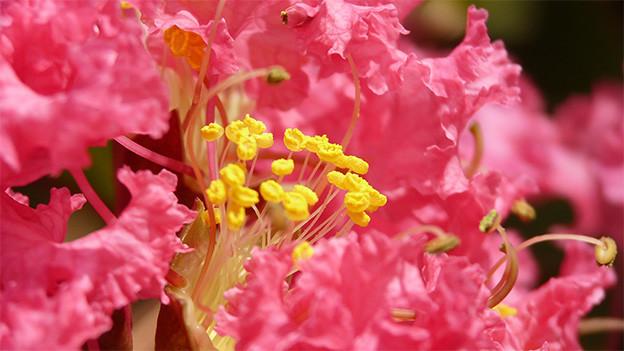 Eine grosse offene Blüte einer Kreppmyrthe.