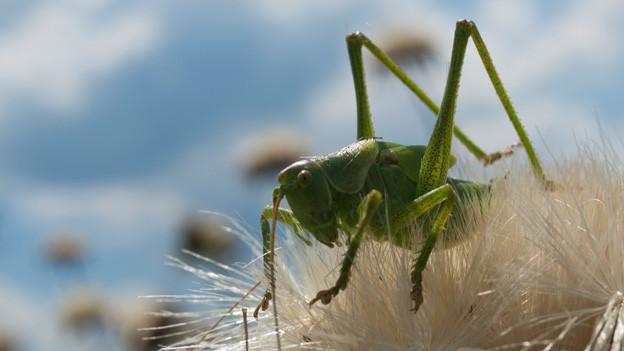 Eine grosse leuchtend grüne Heuschrecke mit langen Fühlern.