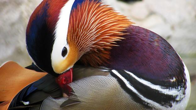 Eine Ente mit bunten Federn putzt sich.