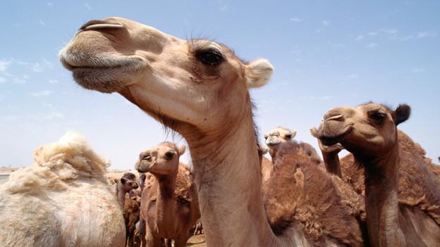 Eine Herde von Kamelen in der Wüste.
