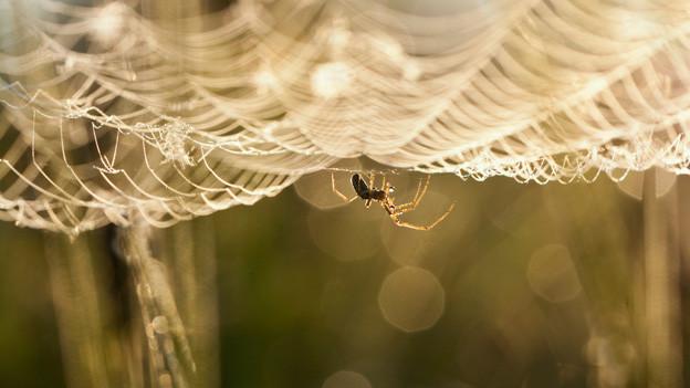 Eine Spinne hängt unterhalb ihres Netzes.