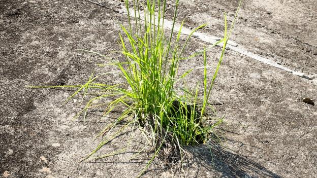 Grashalm wächst durch Asphaltboden.