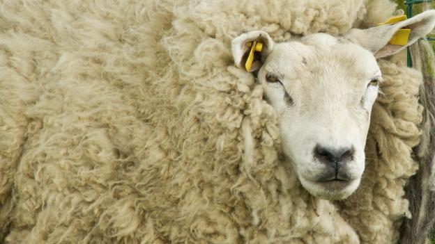 Schaf mit viel Wolle.