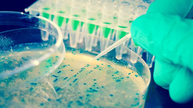 Eine Petrischale mit einer Bakterienkolonie.