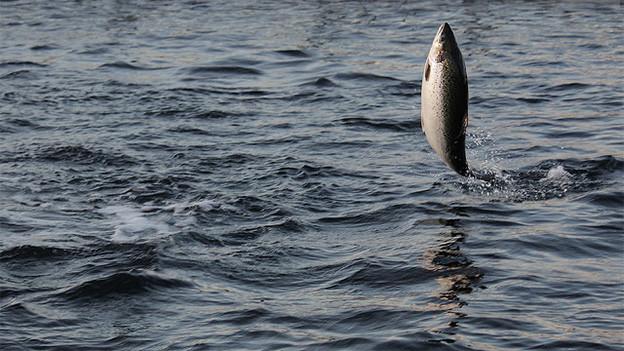 Ein Lachs springt senkrecht aus dem Wasser.