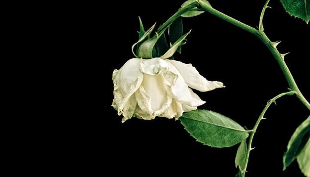 Eine grosse weisse und verwelkte Rose auf schwarzem Hintergrund.