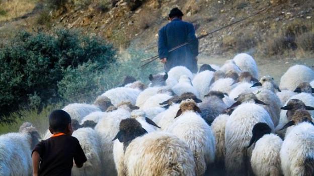 Türkischer Hirte mit seinen Schafen.