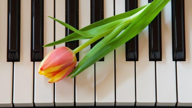Tulpe liegt auf Klaviertasten.