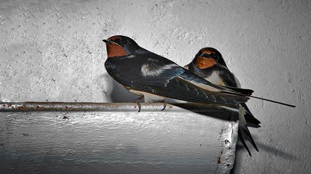 Ein Schwalbenpaar sitzt auf einer Dachrinne.