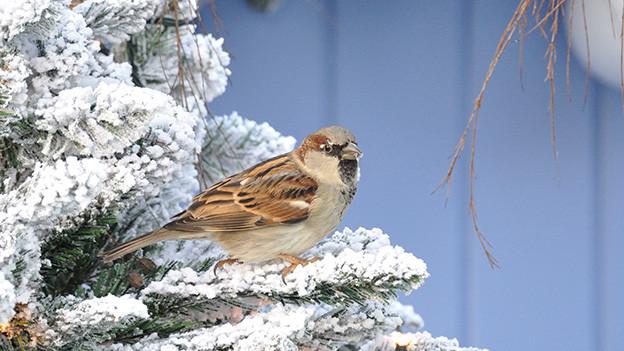 Ein Spatz sitzt im Winter auf einem verschneiten Ast.