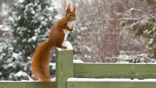 Ein braunes Eichhörnchen sitzt neugierig auf einem Gartenzaun, auf dem ein wenig Schnee liegt.