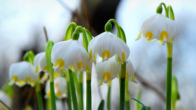 Grossaufnahme von kleinen weissen Märzenglocken mit gelben Blütenspitzen.