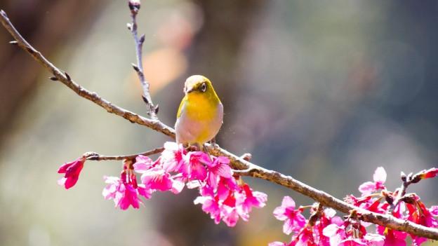 Vogel auf Kirschblütenzweig.