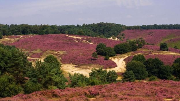 Blick auf wunderschön rosarot gefärbte Heide.