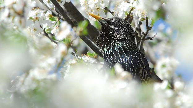Ein schwarzer Star sitzt in den weissen Blüten eines Kirschbaums.