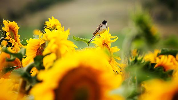 Ein kleiner Vogel sitzt auf einer Sonnenblume in einem grossen Sonnenblumenfeld.