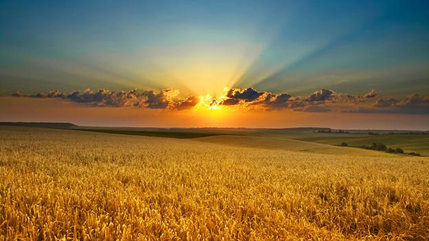Strahlender Sonnenschein über einem Kornfeld.