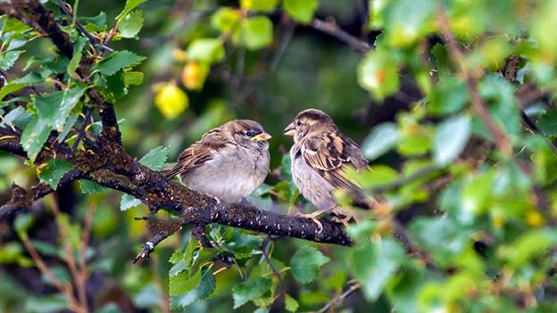 Zwei Spatzen sitzen sich in einem Baum gegenüber und scheinen sich miteinander zu unterhalten.