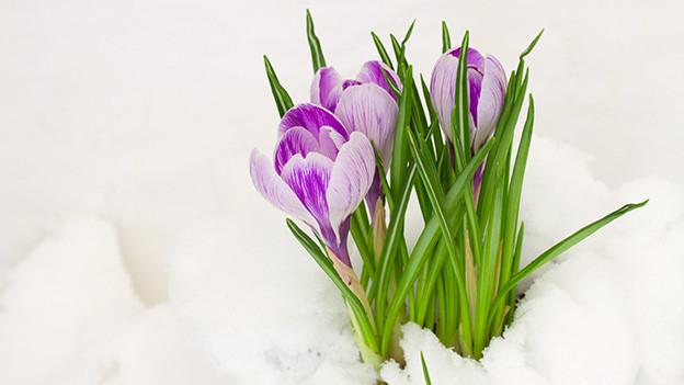 Violette Krokusse mitten im Schnee.