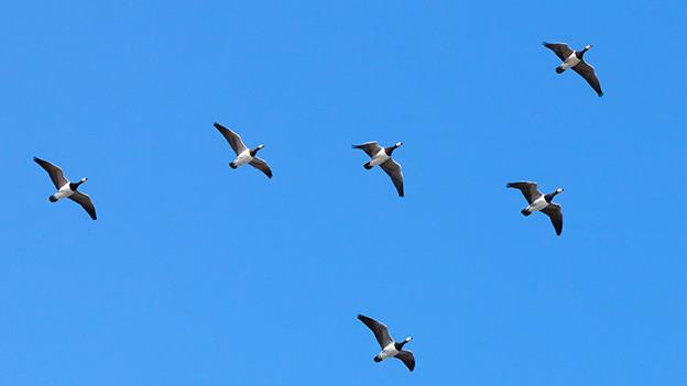 Ein Vogelschwarm in V-Formation.