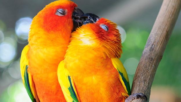 Zwei orange-rot-gelb-grün gefärbte Papageien beim Turteln.