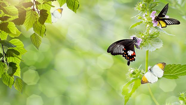 Mehrere Schmetterlinge auf den Blättern einer grünen Pflanze.