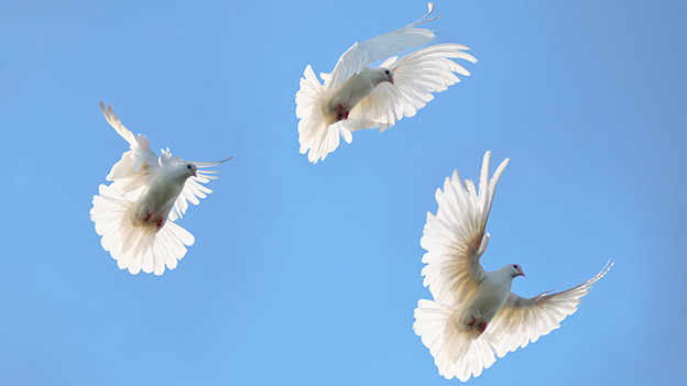 Drei weisse Tauben fliegen unter strahlend blauem Himmel