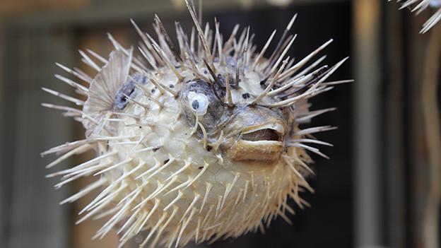 Ein aufgeblasener Fisch mit vielen Stacheln.