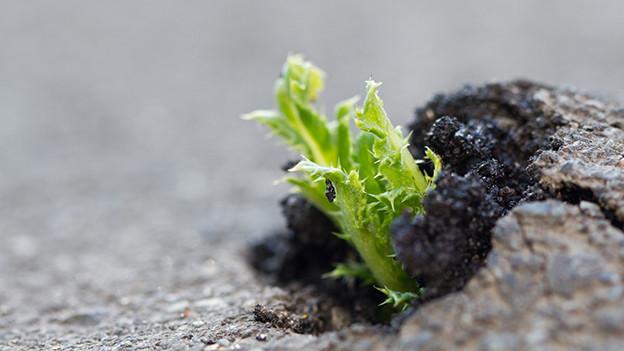 Eine junge Pflanze stösst durch eine geteerte Strasse.