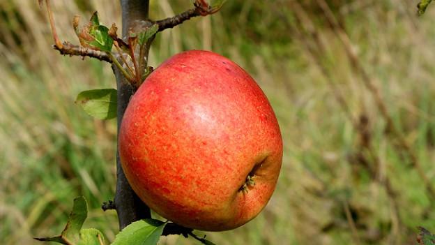 Ein roter Apfel hängt an einem Zweig.
