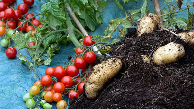Eine Staude Tomaten liegt vor einem Haufen Erde, in dem Kartoffeln sind.