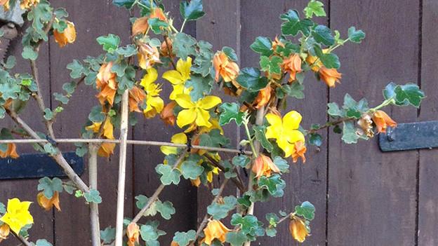 Ein Strauch mit gelben Blüten vor einer Holzwand.