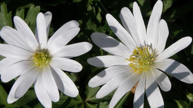 Weisse Blume mit lanzettartigen Blättern.