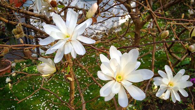 Ein paar weisse offene Blüten.