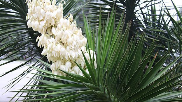 Crèmefarbene Blüten einer Yucca.